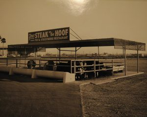 Stockyards cattle in the front yard circa 1947