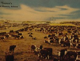 Stockyards cattle 1947